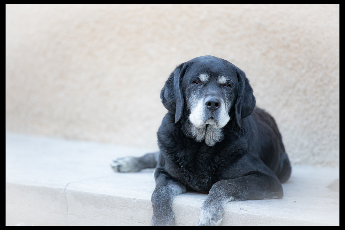 SCOUBIDOU - x labrador 10 ans - Refuge de Digne (04) Refuge-chiens-scoubidou-9994