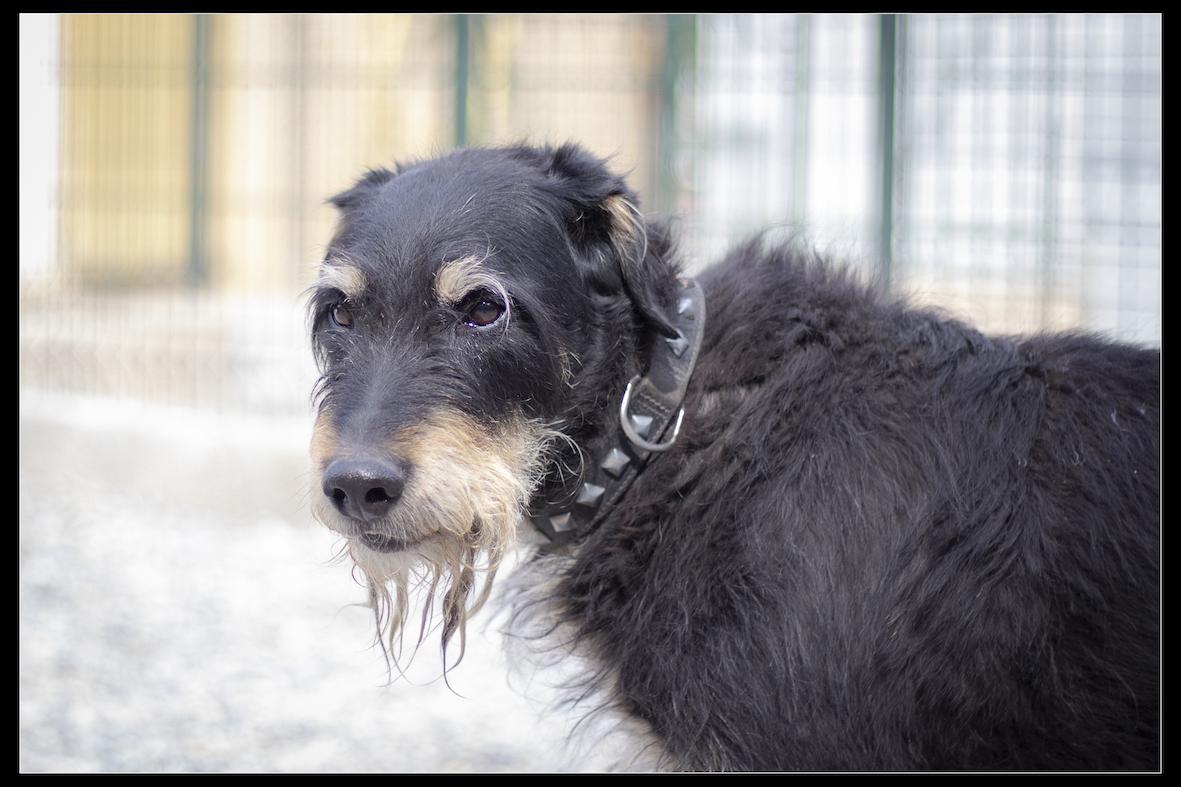 UNOo - x griffon 13 ans  (4 ans de refuge)  - Refuge de Digne (04) Refuge-chiens-uno-0261