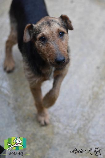 ATTILA,  x Fox terrier 6 ans - MASAQ à Figeac (46)  Attila