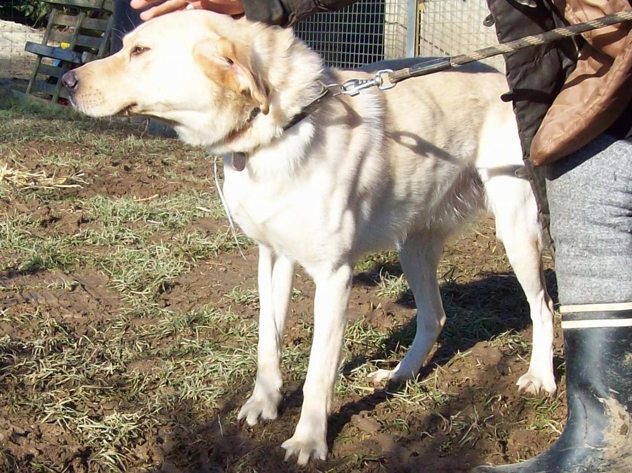YOUKI - labrador beige 10 ans  (4 ans de refuge)- ADAA à La Chapelle d'Andaine (61) Youki-1