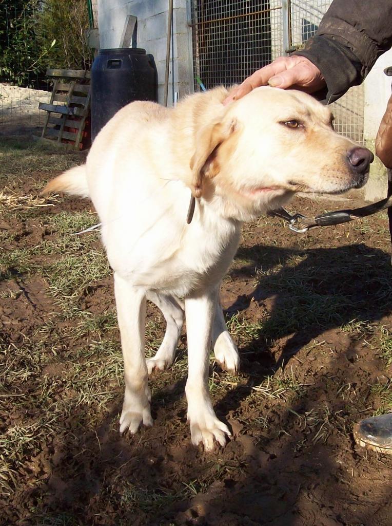 YOUKI - labrador beige 10 ans  (4 ans de refuge)- ADAA à La Chapelle d'Andaine (61) Youki-2