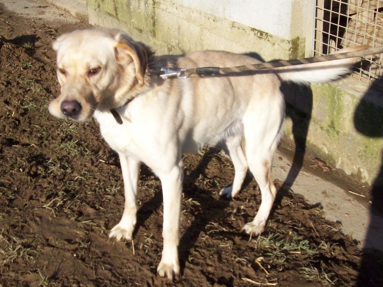 YOUKI - labrador beige 10 ans  (4 ans de refuge)- ADAA à La Chapelle d'Andaine (61) Youki-4