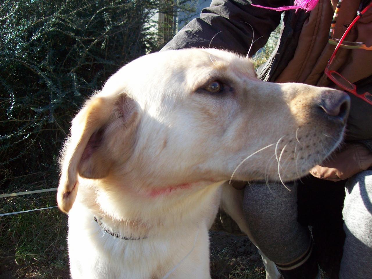 YOUKI - labrador beige 10 ans  (4 ans de refuge)- ADAA à La Chapelle d'Andaine (61) Youki-5