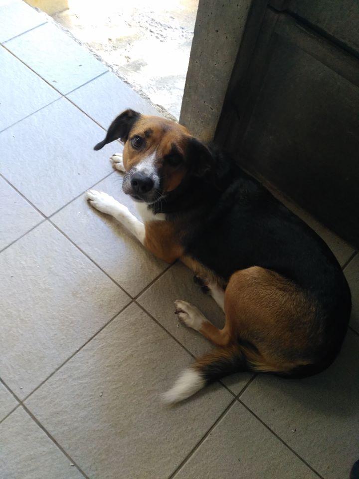 MICHA - beagle 3 ans - Refuge Les Trois Bornes à Pamiers (09) MICHA