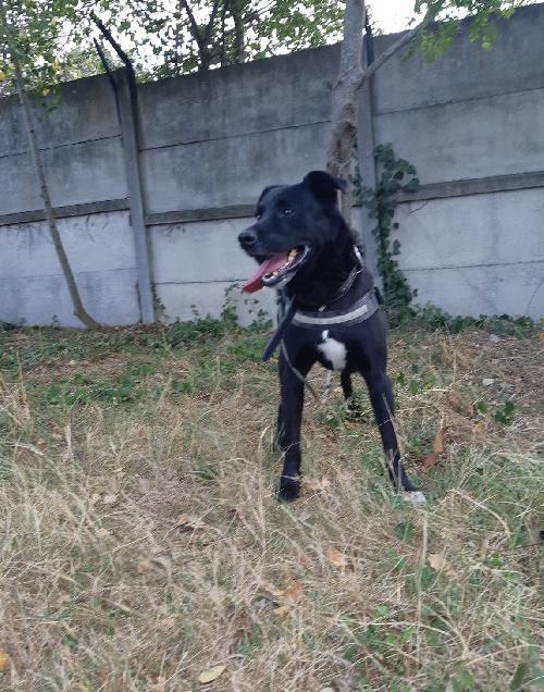 BLACK - labrador 10 ans  (3 ans de refuge)- Spa de Toulouse (31) BLACK