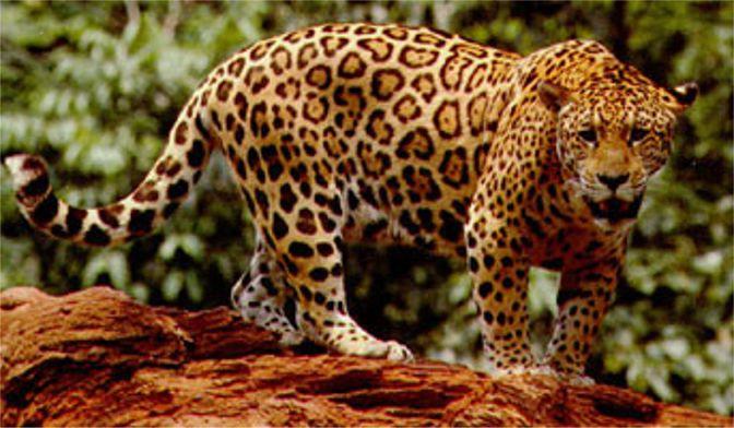 Urso negro VS Jaguar Jaguar-JenniferLanda-pic