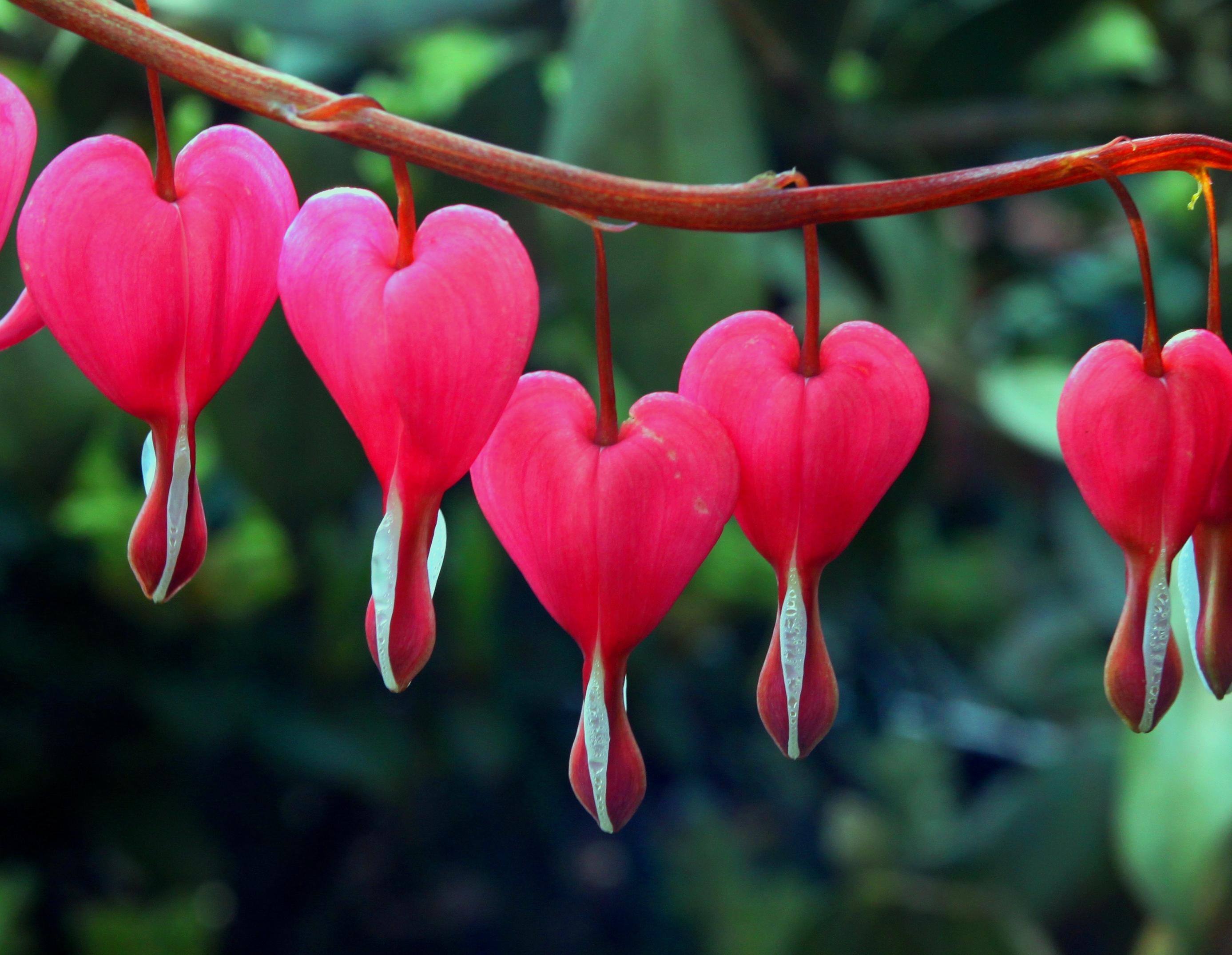 Resultados: Concurso Jardín de Floraturas Flor-corazc3b3n-sangrante