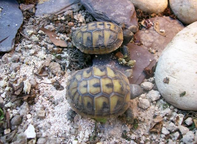 Critical care pour bébé tortue 1364035713-1000766