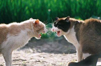 Mettre un nouveau chat en contact avec ses chats 1421928941-introduire-un-chat-