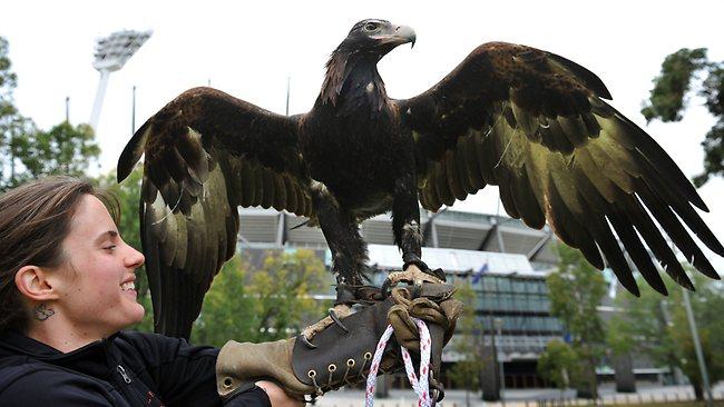 Comparação do tamanho de águias  com relação ao homem. 935609-wedge-tailed-eagle
