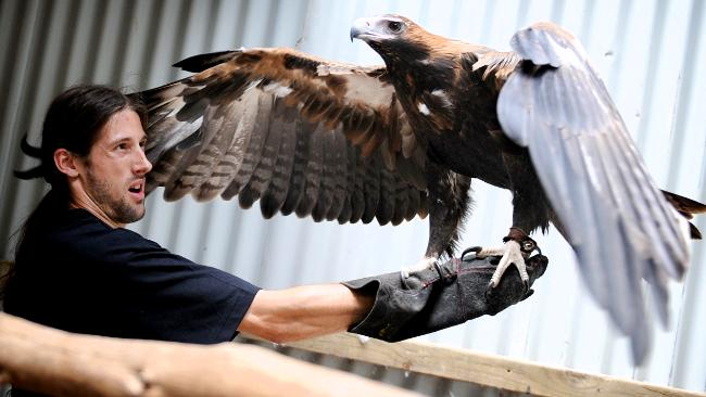 Comparação do tamanho de águias  com relação ao homem. 371467-pn-news-wedge-tailed-eagle-650