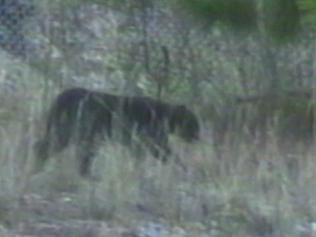 BIG CAT seen crossing the Sturt Highway - 3 cars stopped for it! - Page 2 291347-blue-mountains-panther