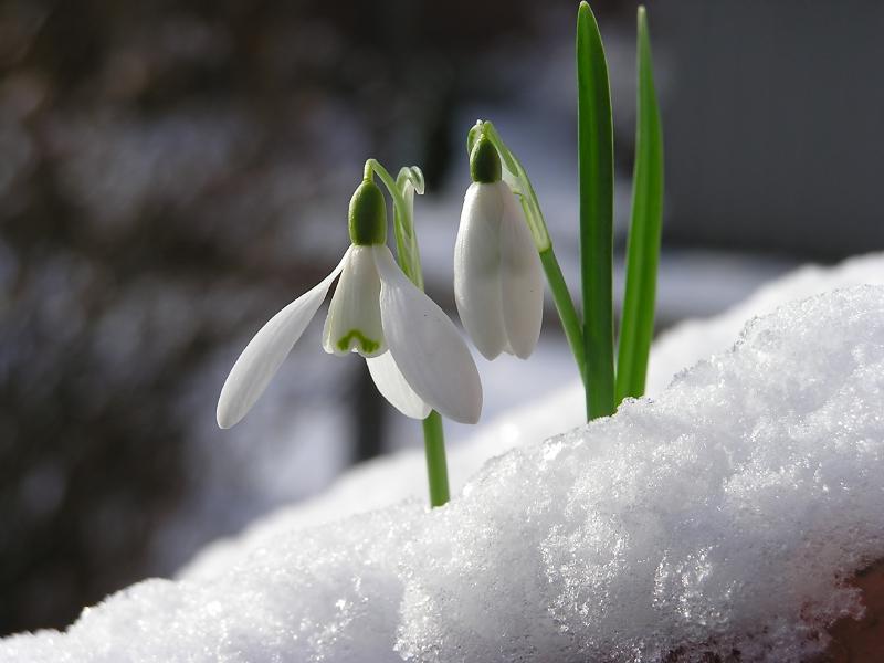 Nos amies les fleurs (Symbolisme) - Page 4 Perce-neige-sous-un-duvet-de-poudreuse