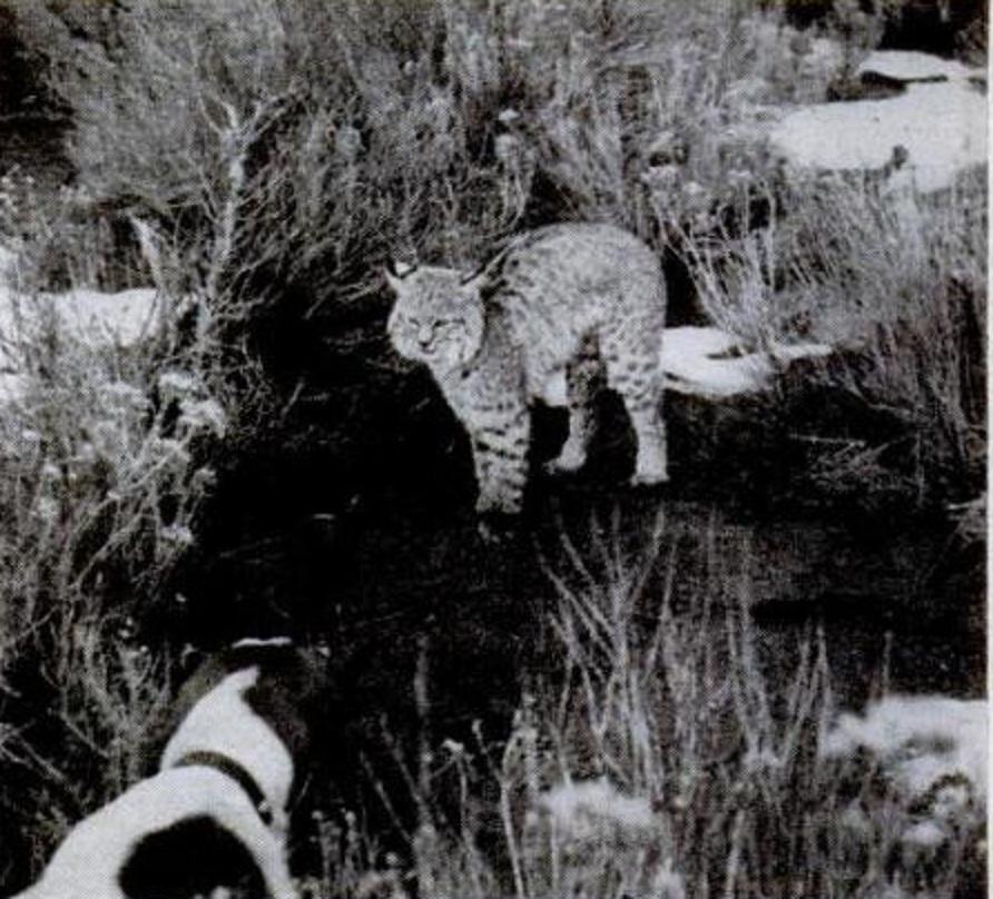 Bullmastiff VS Lince vermelho Old-spot-vs-the-bobcat