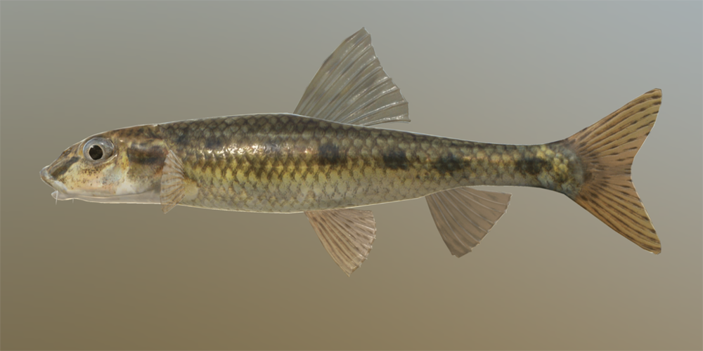 GUIDE - GRÜNDLING Gudgeon_o.thumb.png.d2a7fded3ea0c6bab74f4c6e77103a05