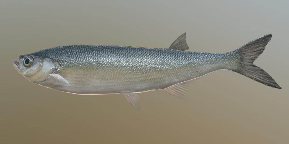 GUIDE - SICHLING Sabrefish_m.thumb.png.83ee16f07e81fd3091c2c4b608aaf46c