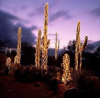Cereus hildmanianus v spiralis Xmas_saguaro