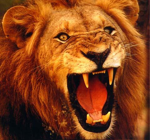 أمثلة وكنايات مستمدة من عالم الحيوان  Lion1