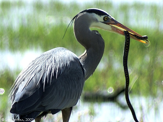 The GNamer Forum Awards 2013! (Honourable/Dishonourable Mentions!) - Page 5 Ridgefield_NWR_heron_snake_dangling_2007