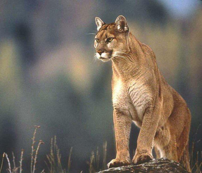 Crne i smeđe pume Puma