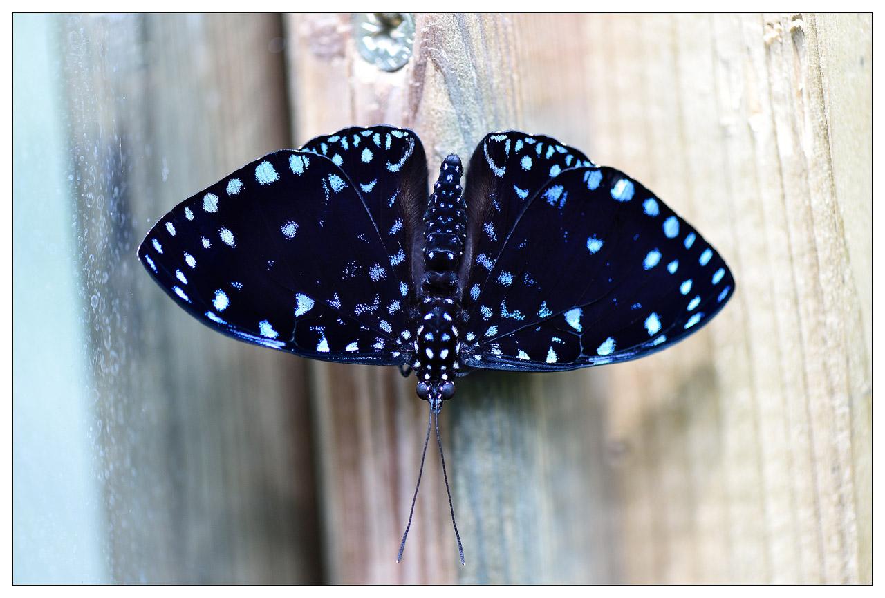 13 / 06 / 2015 - Remerchen / papillons à Grevenmacher  Photos D4S_6503