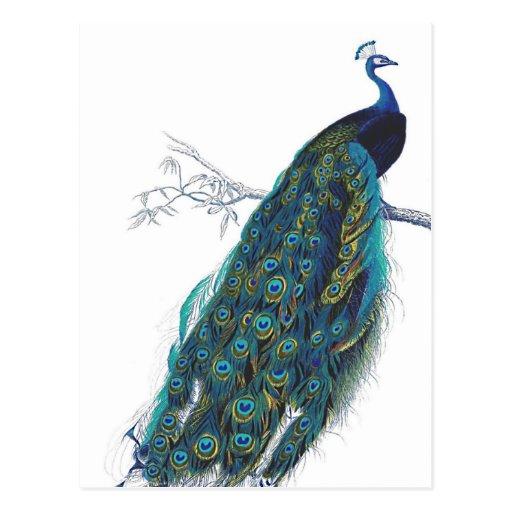 صور الطاوس فلاشية  Pavo_real_azul_con_las_plumas_de_cola_hermosas_tarjeta_postal-r7db6bd1ce1c04acf866719c9d0254671_vgbaq_8byvr_512