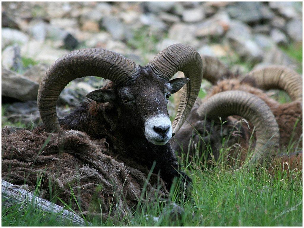 ancetre du mouton Mouflon-deurope-parc-merlet-juin-072