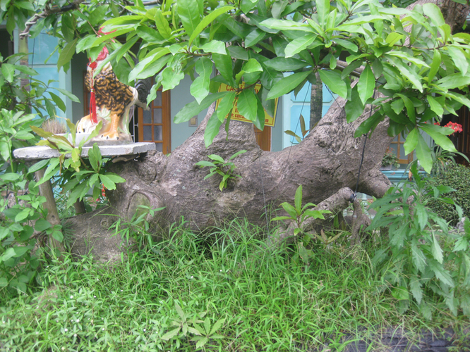 Bán cây lộc vừng: Cá SẤU vờn mồi - Làng ẩm thực Hoàng Gia Nam Định 201304161506_img_3470