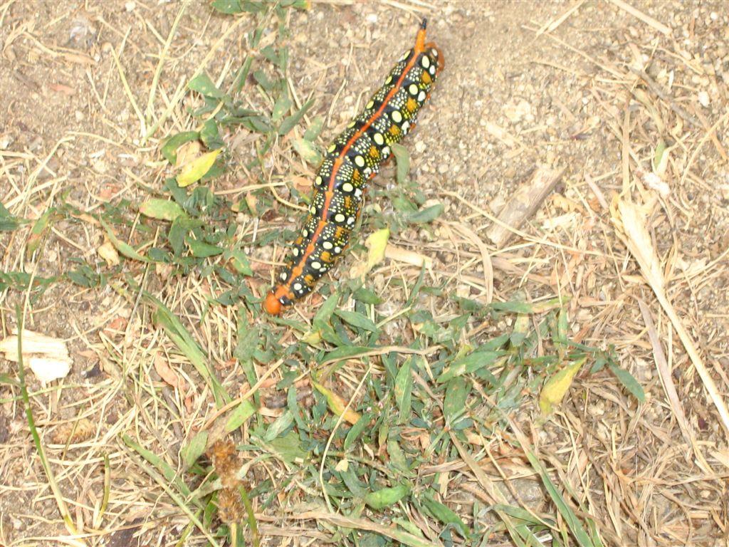 chenille et sa chrysalide: quel est le papillon? IMG_1941