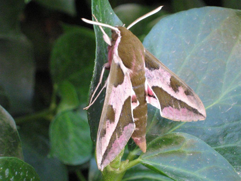 chenille et sa chrysalide: quel est le papillon? IMG_2287