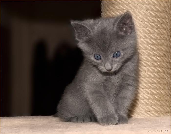 Mačke (hrana za mačke, najdraža pasmina mačaka, držanje mačke, kastriranje, slike mačaka..) 2_11_2_kiGE_074