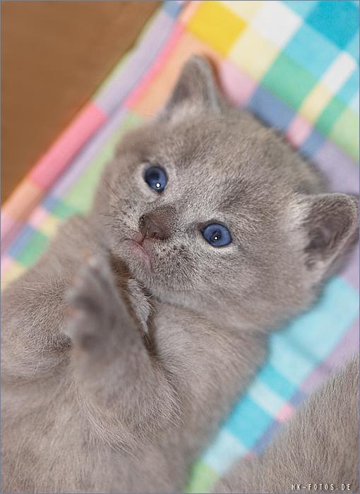 Mačke (hrana za mačke, najdraža pasmina mačaka, držanje mačke, kastriranje, slike mačaka..) 6_9_21_Kitt_684