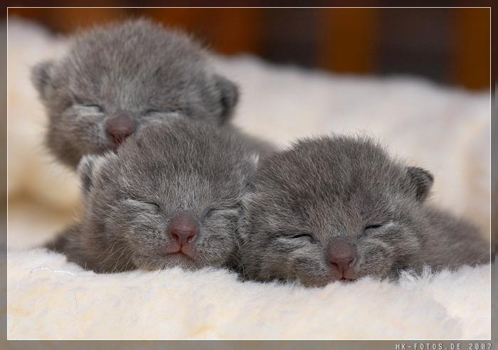 Mačke (hrana za mačke, najdraža pasmina mačaka, držanje mačke, kastriranje, slike mačaka..) 9_6_7_IJ_9Gr
