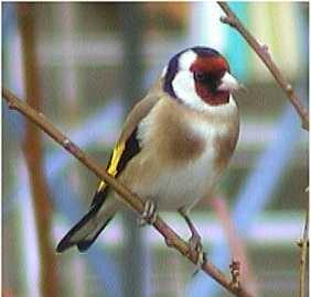 Scrabble 7: Les oiseaux de nos jardins et campagnes Chardonneret