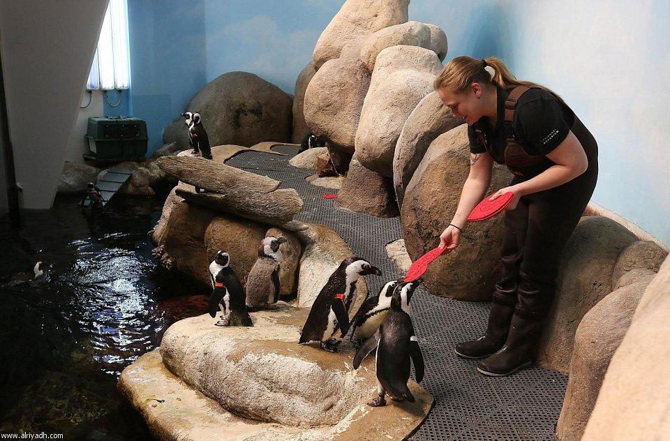 بالصور البطريق العاشق 007450362276