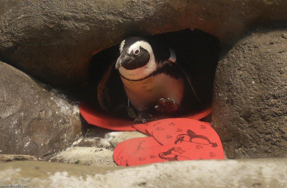 بالصور البطريق العاشق 548943086430