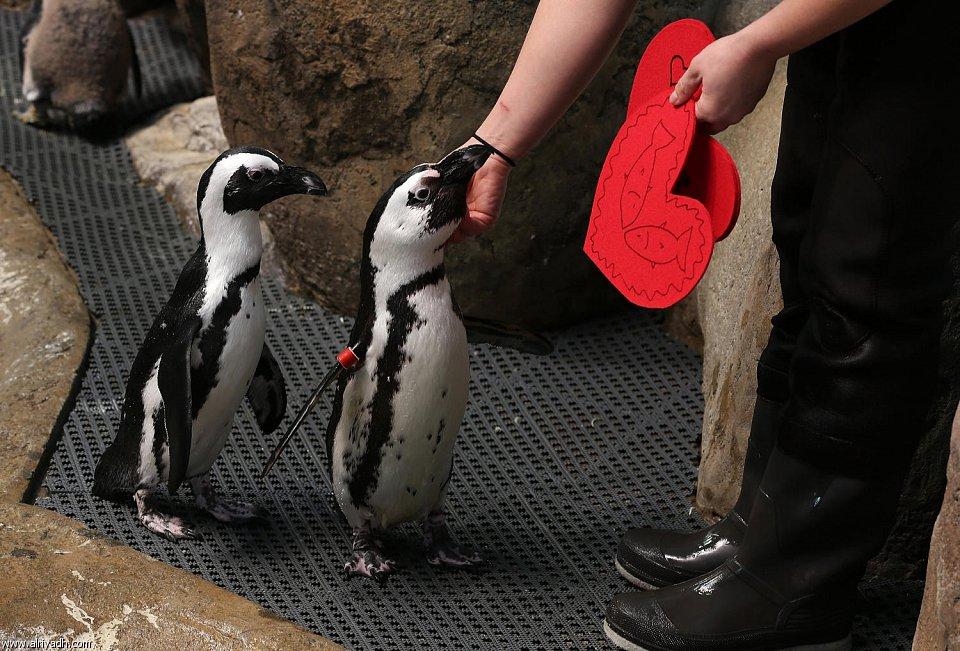بالصور البطريق العاشق 550873812625