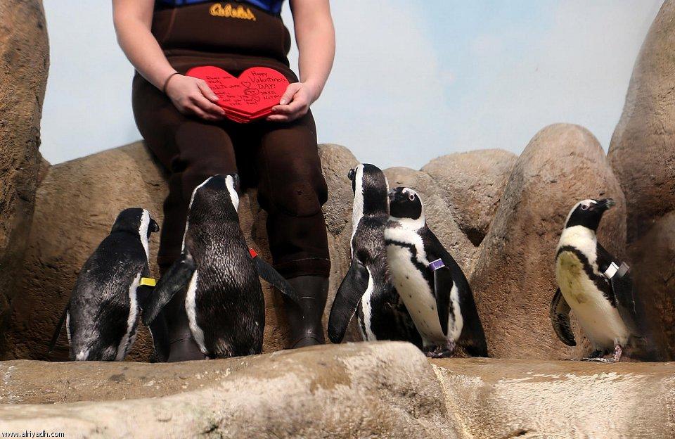 بالصور البطريق العاشق 668458515001
