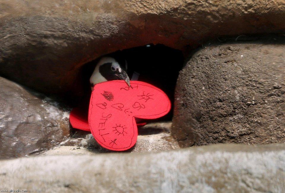 بالصور البطريق العاشق 753825482808