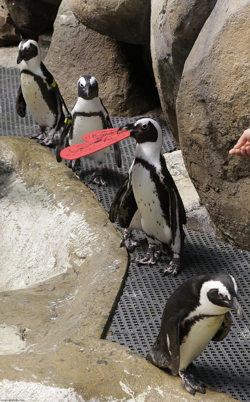 بالصور البطريق العاشق 917717264988