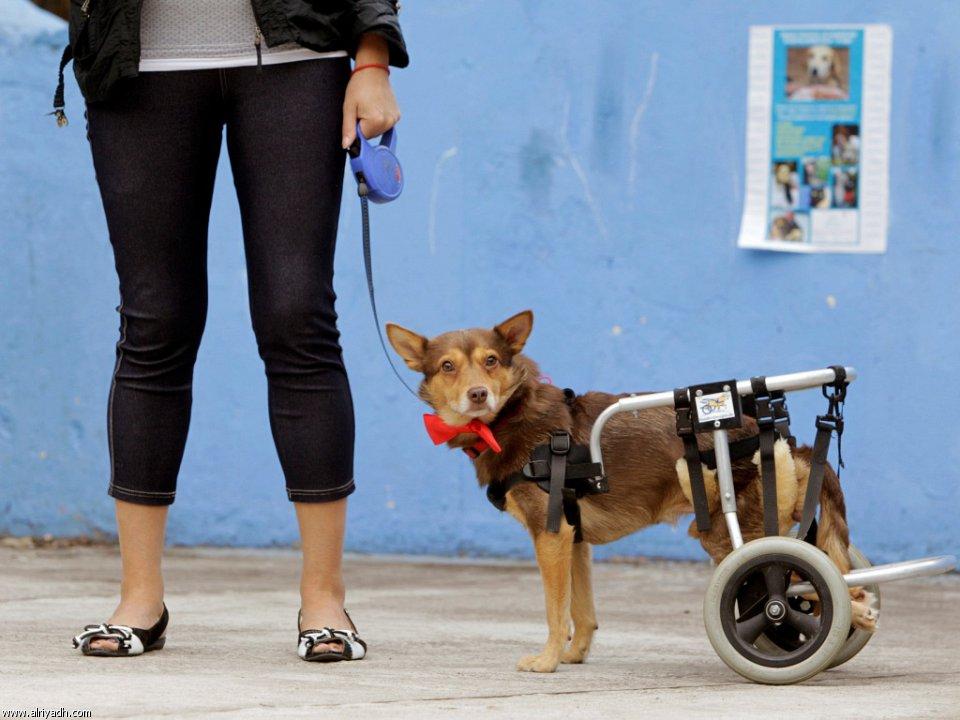 بالصور حيوانات تتحدى الإعاقة 190525305457