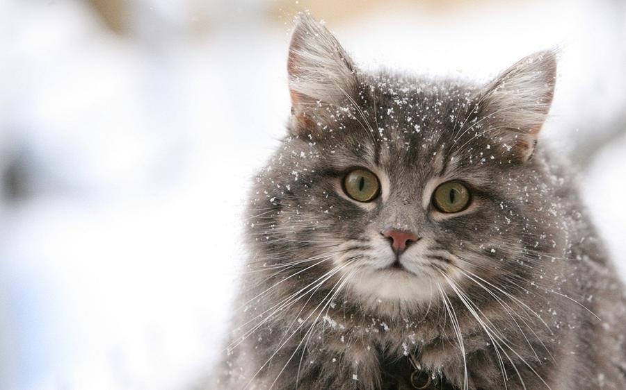 Зима - кошки торжествуют!  F13f6ef8d33fc31a1e5551fc07788f9c