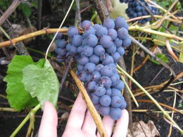 Виноград- секреты выращивания - Страница 31 6eFbg