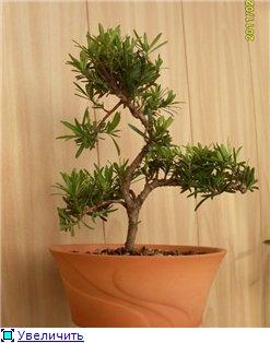 Ногоплодник (Podocarpus) 0fe145081d27t