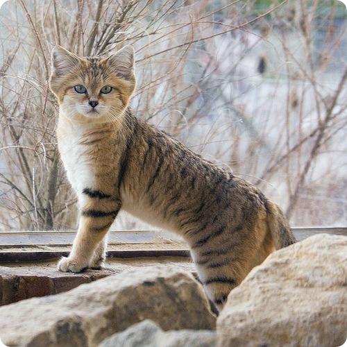 Необычные и редкие породы кошек и собак 27e4d0f5960c