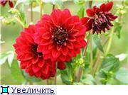 Георгины в цвету 701c7d325117t