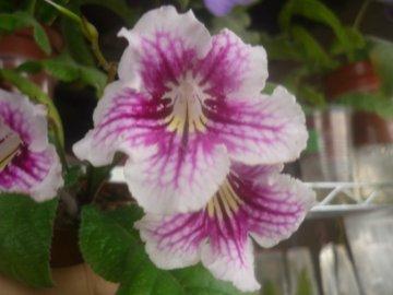 Стрептокарпусы (Streptocarpus) - Страница 4 5dc3041f8b89