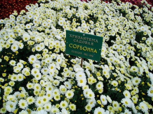 Парад хризантем в Никитском ботаническом саду. Крым  90efe7b10e1a