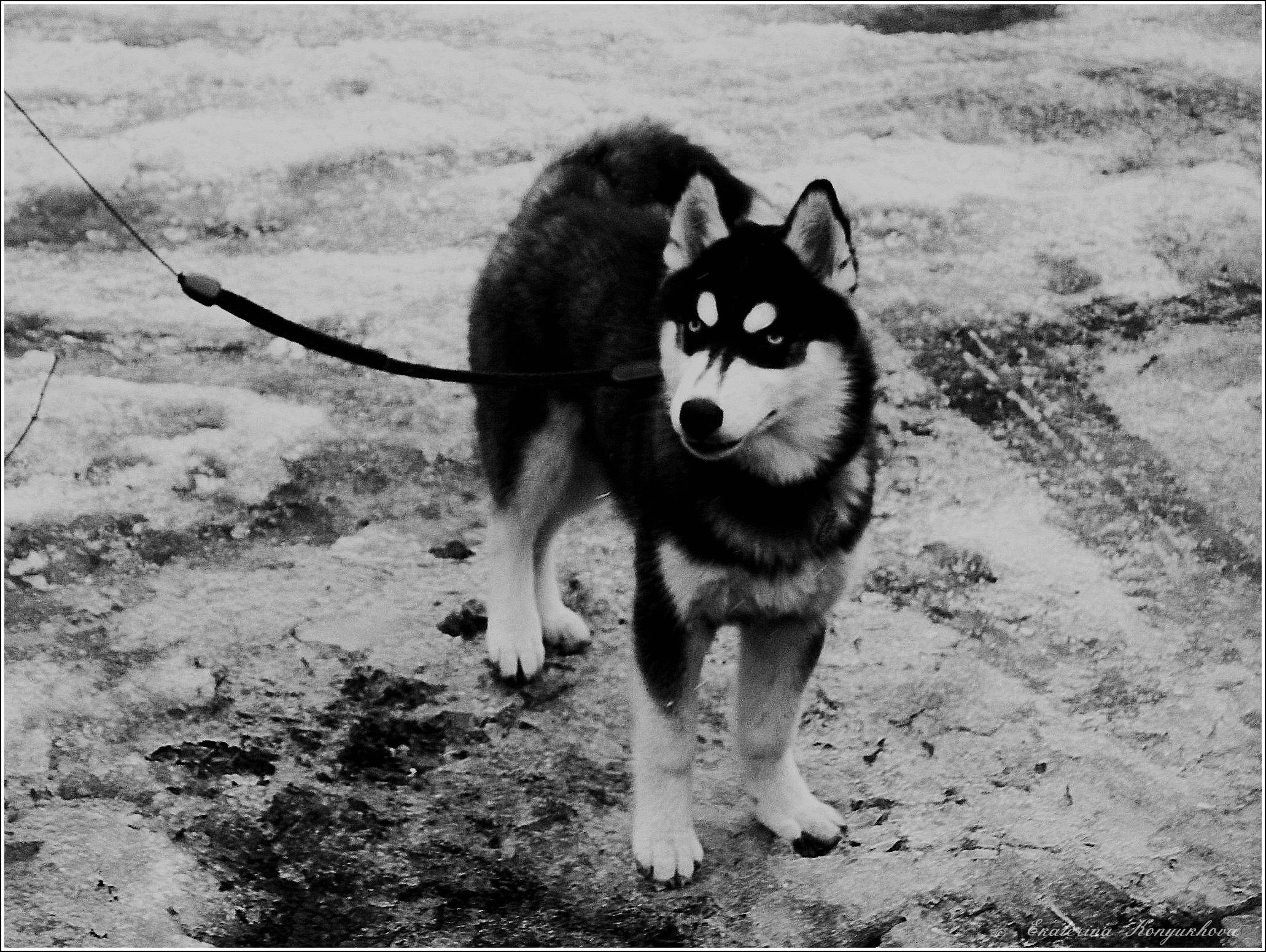 Siberian huskies in Russia. 914520bf9b16