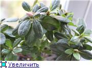 Азалия - капризная красотка 36ea9f4c65f0t